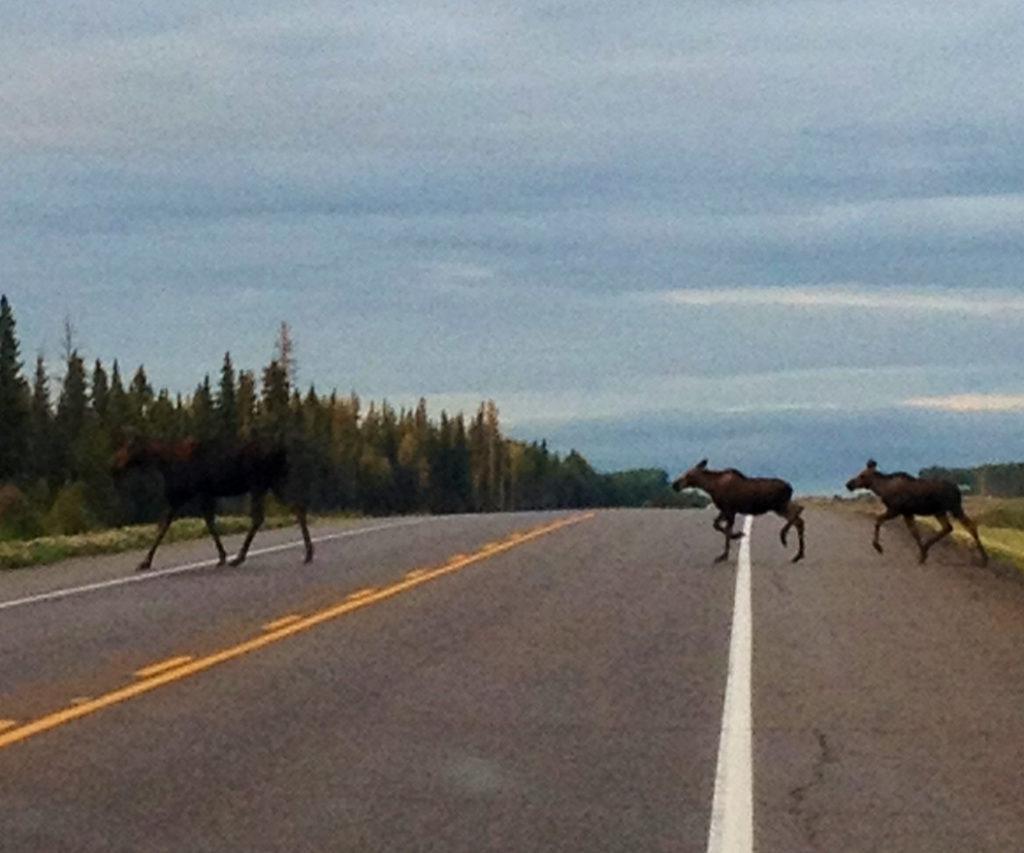 Heartwarming Moose Family 1