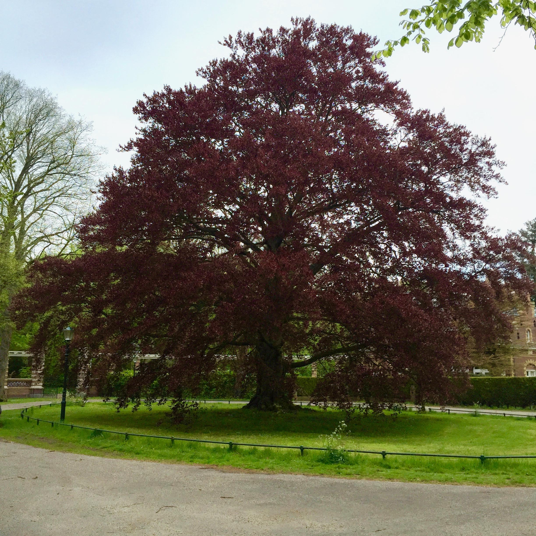Tree in Wassenaar